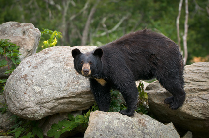 smoky-mountain-tennessee-black-bear